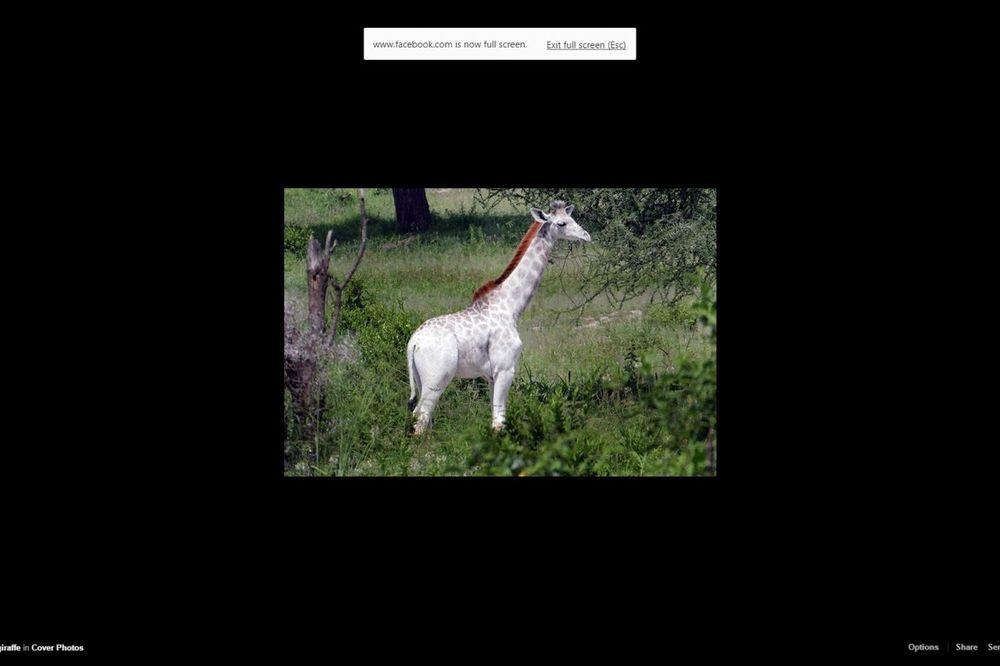 (FOTO) IZUZETNO RETKA: Ovako izgleda bela žirafa uslikana u Tarzaniji