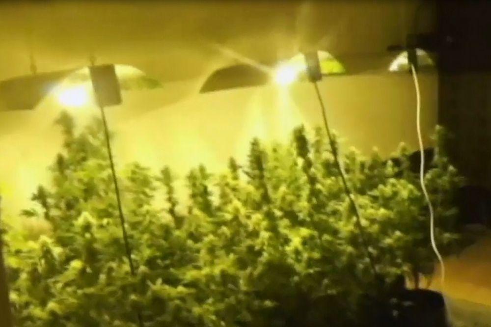 (VIDEO) U AKCIJI BG POLICIJE UHAPŠENA GRUPA: Otkrivena laboratorija i zaplenjena marihuana