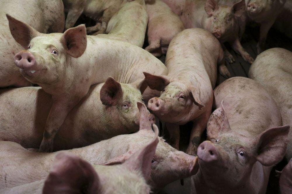 TUŽAN PRIZOR KOD ZRENJANINA: Poljočuvari danas pronašli i 5 uginulih svinja