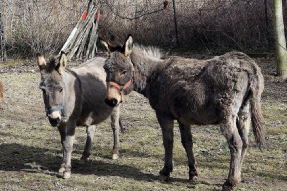 (FOTO) KOPITA U VIS: Hrvatska policija sat vremena privodila dva magarca!