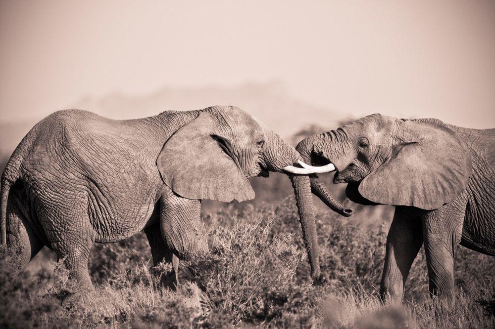 NEMA SREĆE U LJUBAVI: Nesrećno zaljubljeni slon polupao 15 automobila