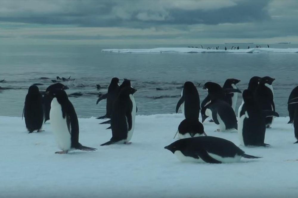 (VIDEO) 150.000 PINGVINA UGINULO OD GLADI: Ledeni breg veličine Rima zarobio životinje na Antarktiku