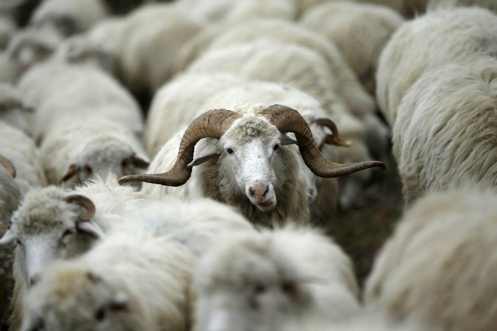 NEZAPAMĆENO U KRAGUJEVCU: Policajcu Zvonku ukrali ovce dok je s kolegama slavio odlazak u penziju