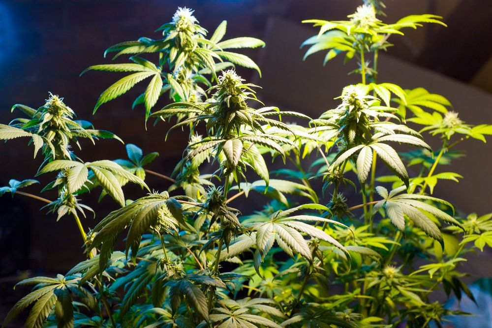 LOZNICA: Sadio marihuanu u dvorištu porodične kuće?