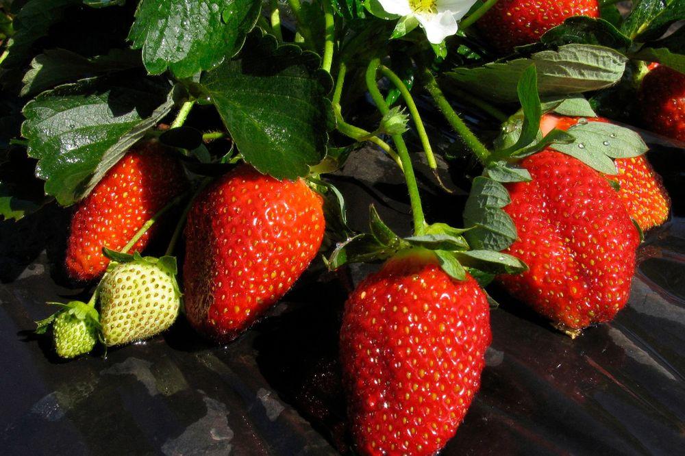(VIDEO) Da li znate da zdrave, sočne, crvene jagode nije teško gajiti?