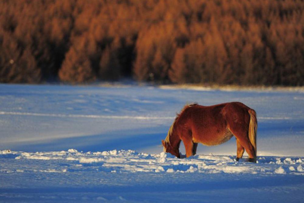 Genetičari zapanjeni: U Kini pronađen mitski zlatni konj