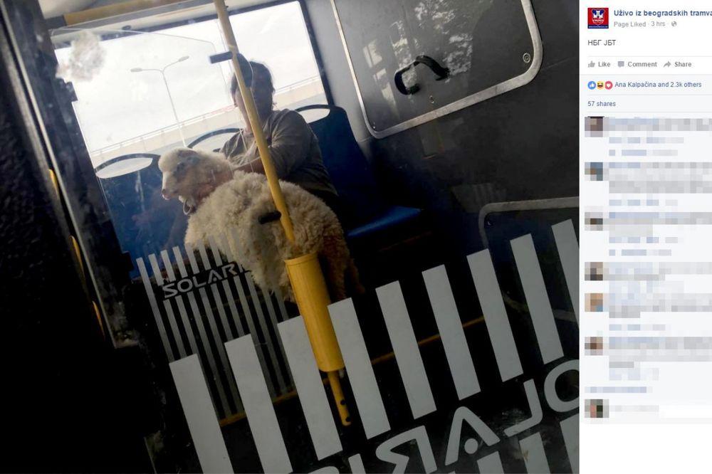 BIO JE TO NAIZGLED OBIČAN DAN U BEOGRADU: A onda je u autobus ušetala ovčica...