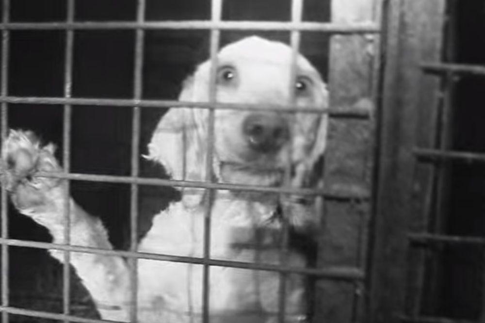 UŽASAVAJUĆI SNIMCI: Dileri uzgajaju pse nagurane u male kaveze bez hrane i vode pa ih onda prodaju
