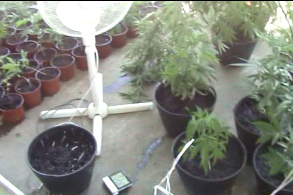 (VIDEO) OTKRIVENA LABORATORIJA U RUMENKI: Policija zaplenila 8 kilograma marihuane
