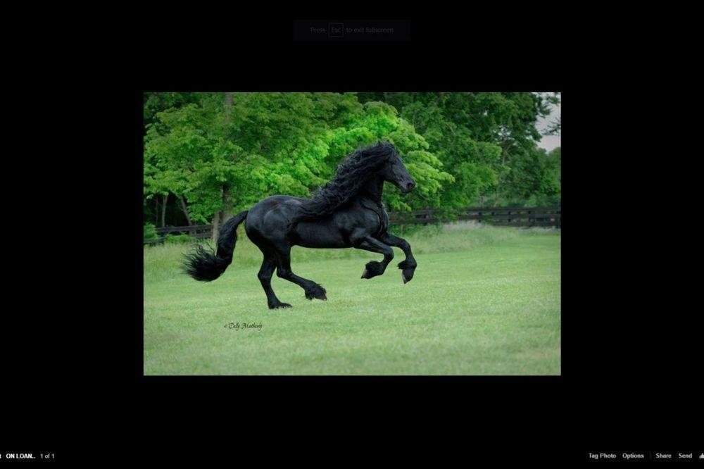 GRACIOZNA CRNA GRIVA: Upoznajte Fridriha, najfotogeničnijeg konja na planeti