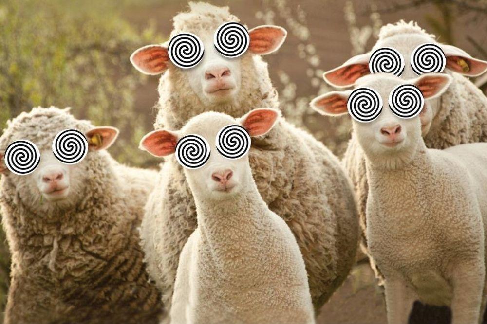 ŠAŠAVA TRAVA: Ovce se napasle marihuane, pomahnitale i počele da jure ljude