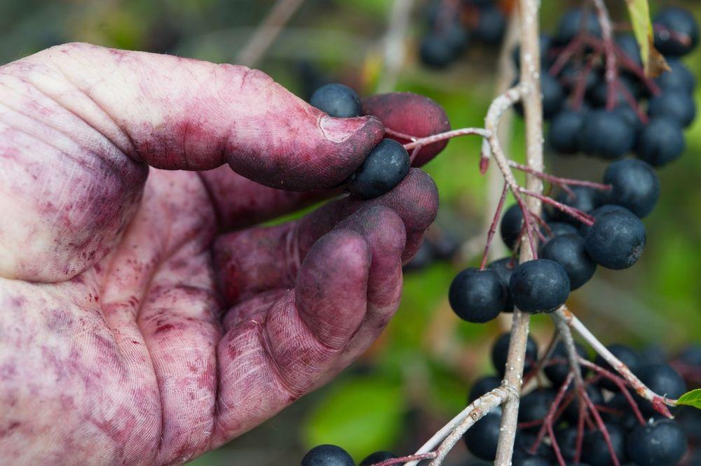 SRBIJA IDEALNA ZA OVU BILJKU: Od hektara se zaradi i do 13.000 evra, uzgajanje jednostavno!
