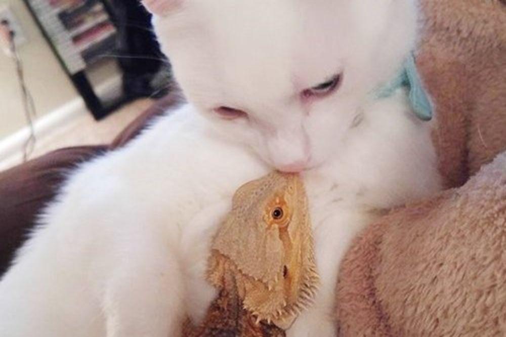 VIDEO ONI SU NAJBOLJI DRUGARI: Prijateljstvo mačke i guštera je nešto najslađe što ćete videti danas