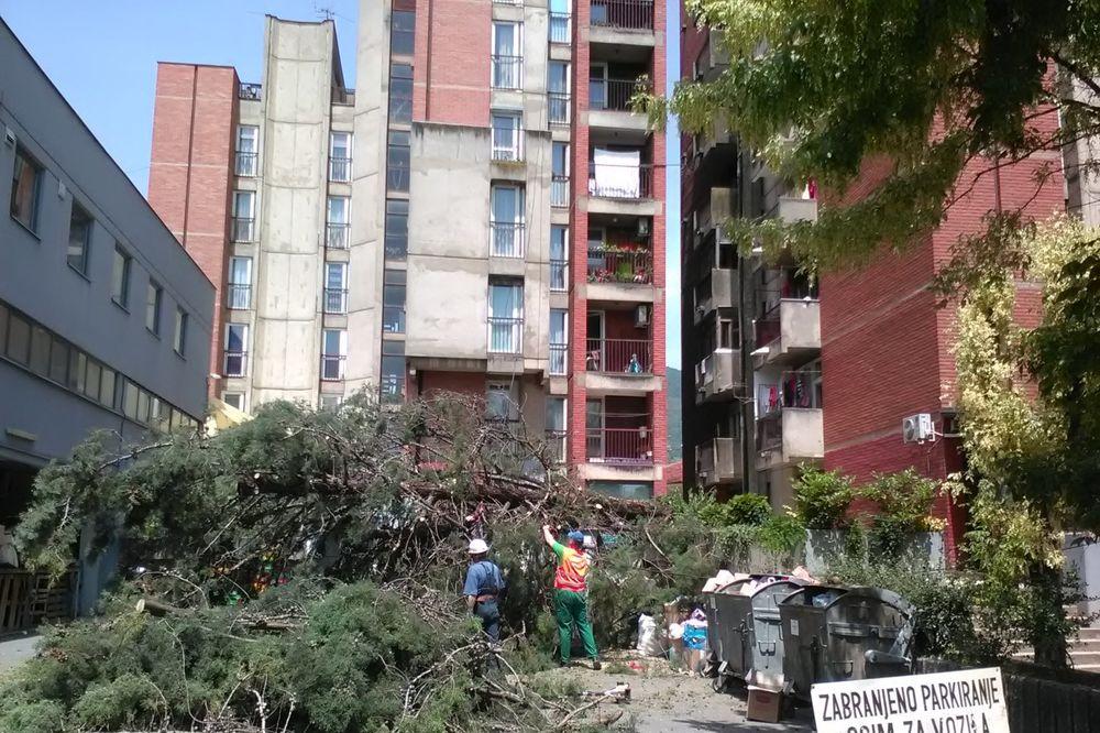 (FOTO) PALO DRVO U CENTRU VRANJA: Čempres od 15 metara se srušio na parking