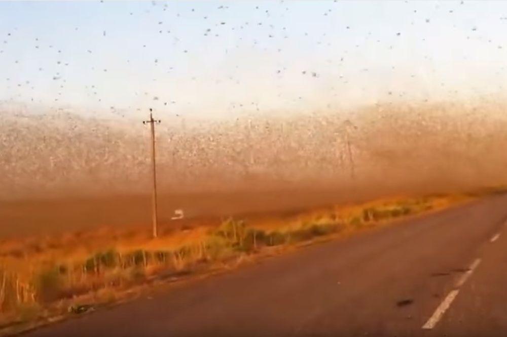 (VIDEO) APOKALIPTIČNI PRIZORI: Rojevi skakavaca prekrili nebo na jugu Rusije