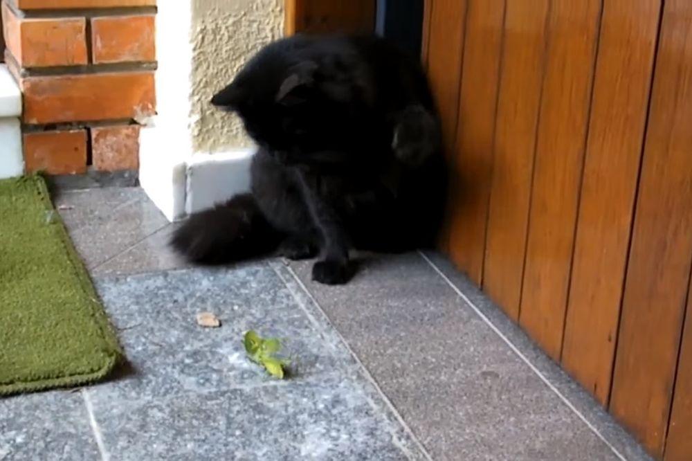(VIDEO) SMRTONOSNI OBRAČUN: Na koga se kladite, crnu mačku ili bogomoljku?