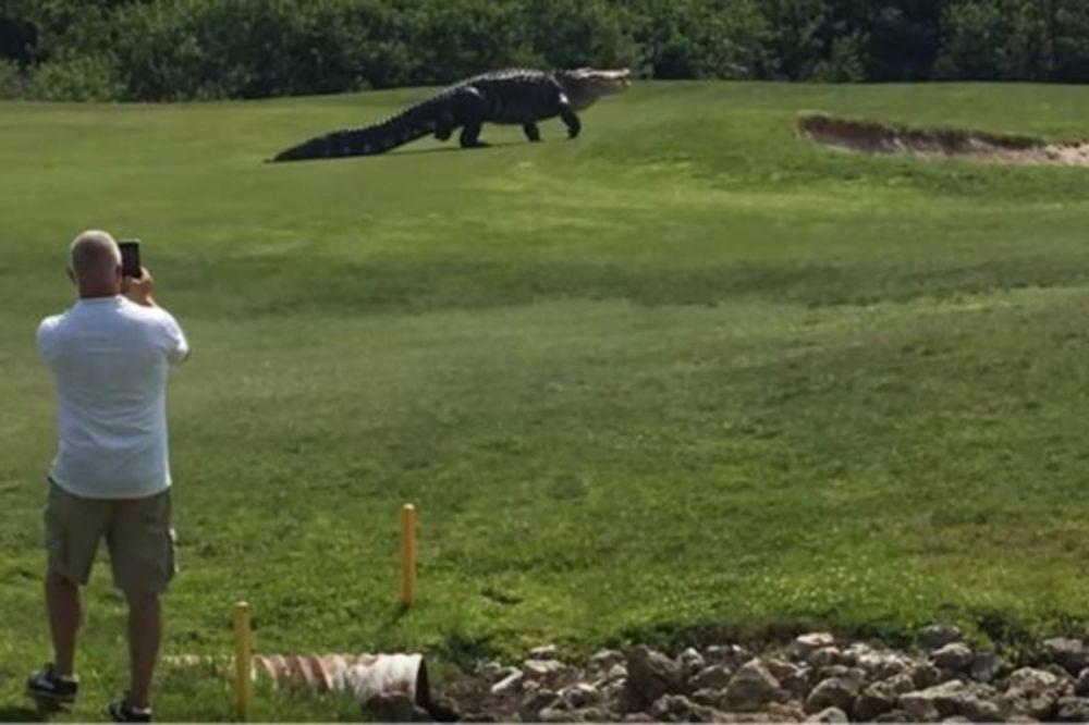 (VIDEO) DŽINOVSKI ALIGATOR ŠETA FLORIDOM: Najveći krokodil na svetu snimljeni na golf terenu!