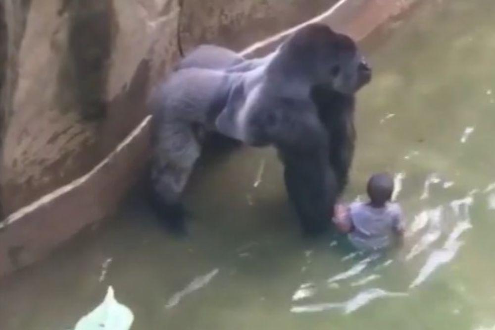 DA LI JE ŽIVOTINJA MORALA DA STRADA: Pokrenuta istraga o ubistvu gorile u zoo-vrtu