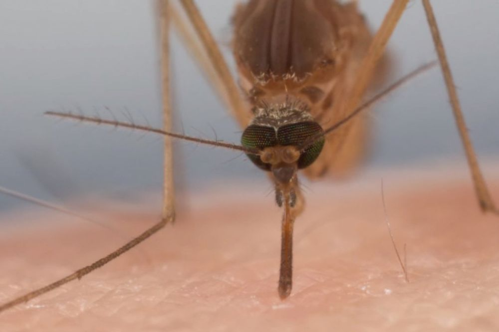 (VIDEO) ČUDOVIŠNE KRVOPIJE: Pogledajte kako izgleda ujed komarca uveličan 100 puta