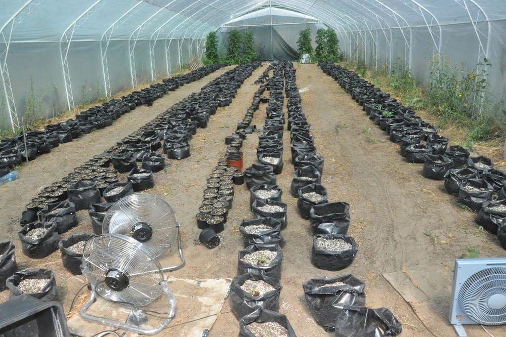AKCIJA POLICIJE U SUBOTICI: Zaplenjeno 2,5 kg marihuane i 100 sirovih stabljika