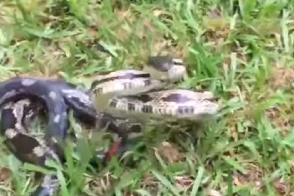(VIDEO) NE DIRAJ JE I NEĆE TE DIRATI: Snimala je zmiju izbliza, a zmija joj ukrala telefon