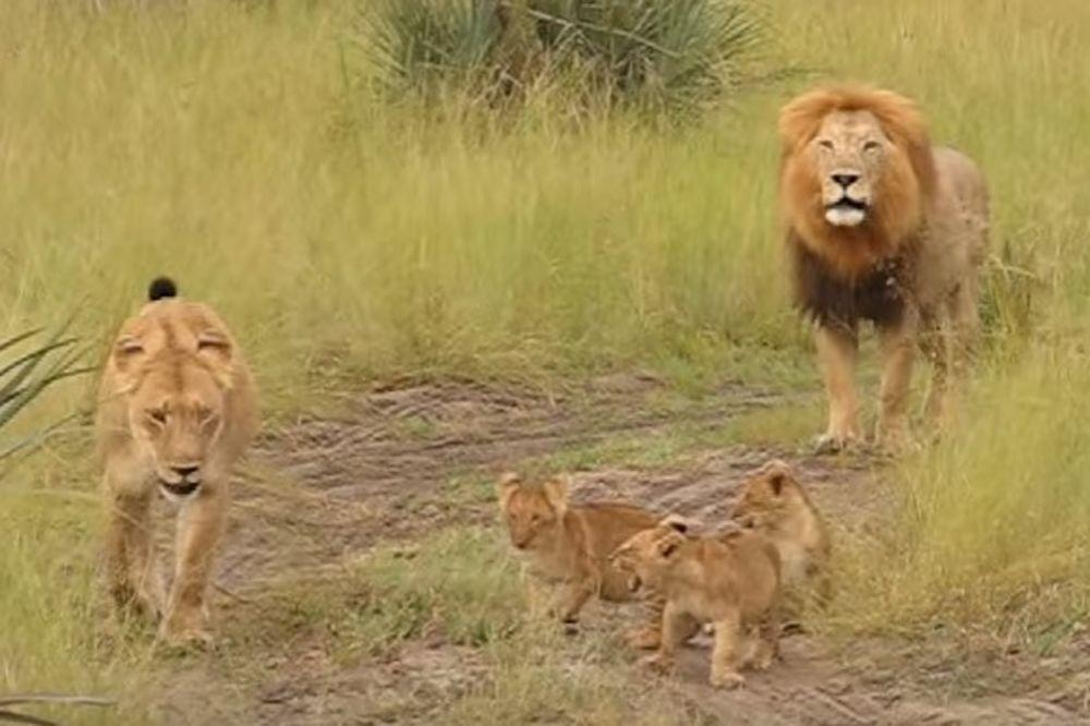 (VIDEO) ON JE TATA ZA PRIMER: Pogledajte kako lav uči mladunce da riču