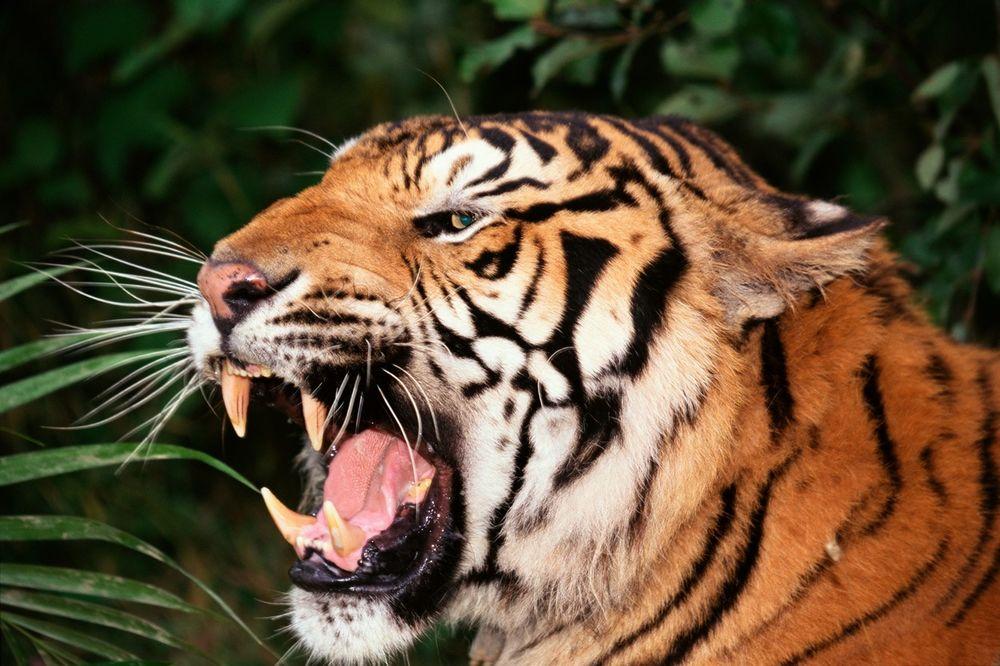 UŽAS U KINI: Tigar u zoo vrtu ubio jednu ženu, druga teško povređena