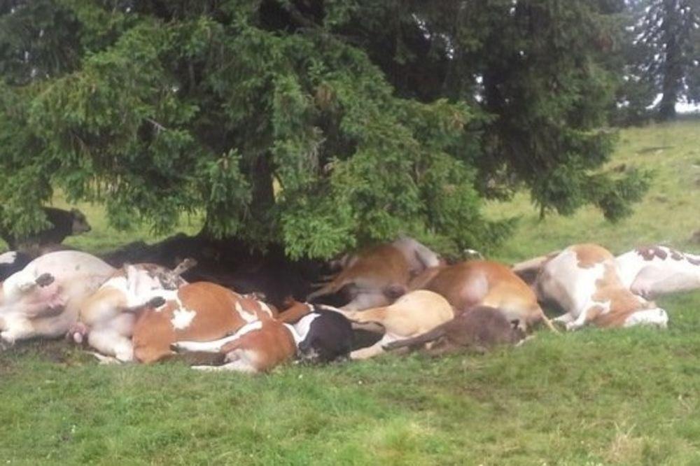 ONA JE BAŠ IMALA SREĆU: Grom ubio 18 krava, preživela samo ona koja se zove Sreća!