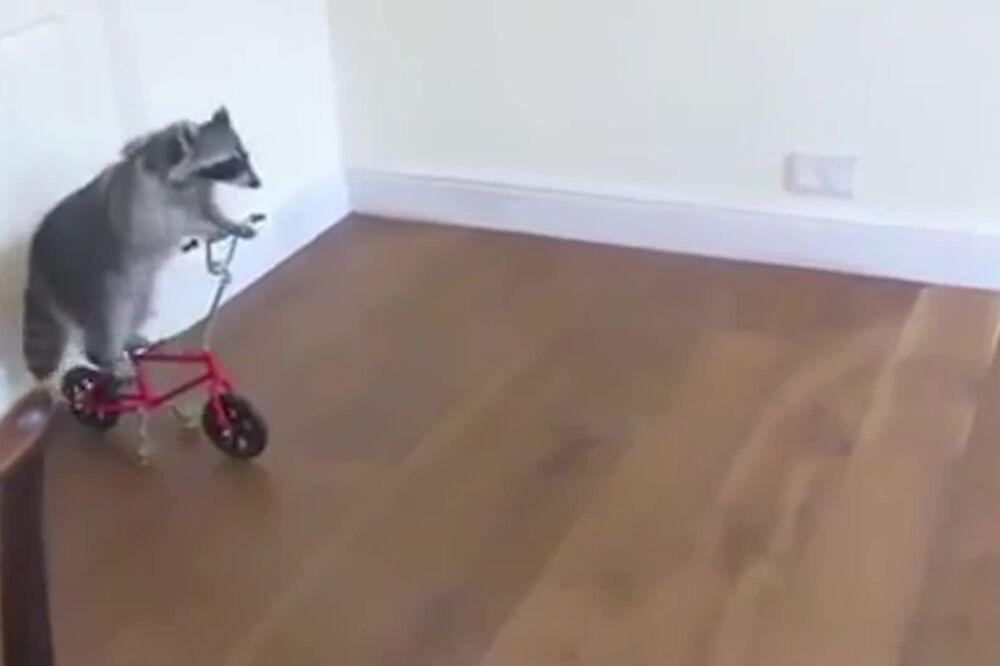 (VIDEO) IZMAMIĆE VAM OSMEH: Rakun koji vozi romobil, biciklu i skejt