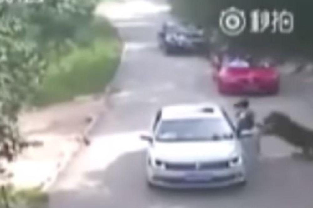 (UZNEMIRUJUĆI VIDEO) HOROR U KINI: Tigar u zoo-vrtu u česljusti odvukao ženu i ubio je