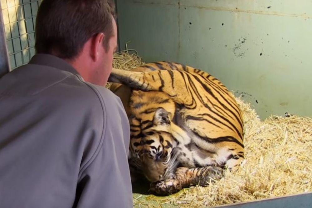 (VIDEO) OVAKAV POROĐAJ NIJE VIĐEN: Tigrica je ugledala mladunče, a onda se ispred nje pojavilo i ovo