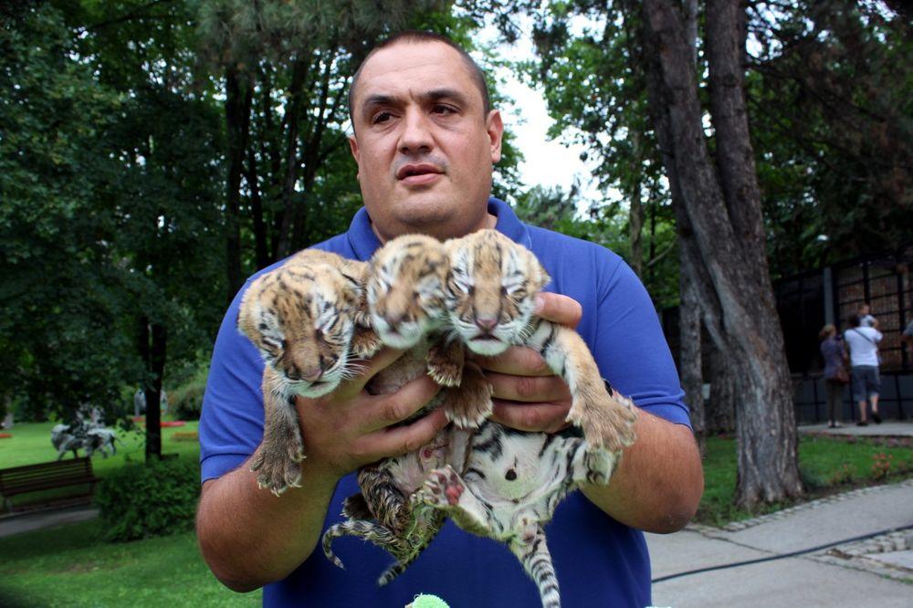 (FOTO) ONI SU VEĆ OSVOJILI SVE POSETIOCE: Jagodinski zoo-vrt bogatiji za ova tri tigrića!
