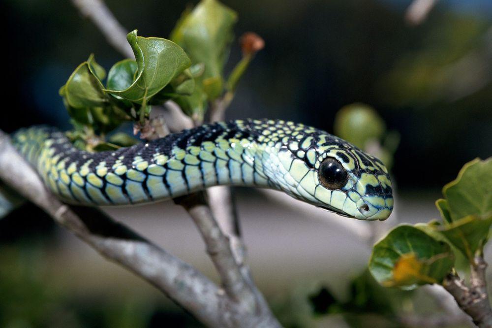(VIDEO) Koga ujede ova zmija umire u mukama! Najodvratnije mučenje može da potraje i 5 dana!