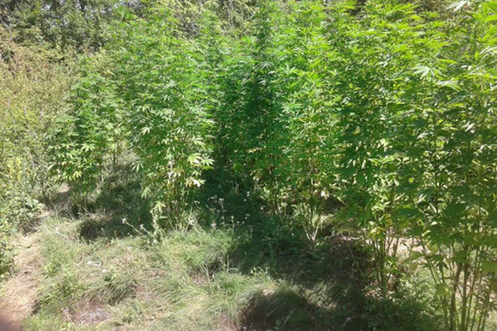 POLICIJSKA AKCIJA U PIROTU: Otkriven zasad marihuane od 134 stabljike