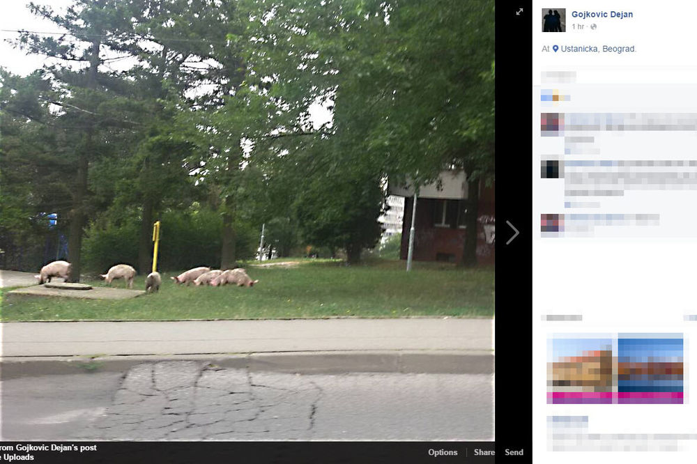 (FOTO) KAD SU PRESTONIČKE LIVADE MILIJE OD SEOSKIH: 7 svinja prošetalo Ustaničkom ulicom