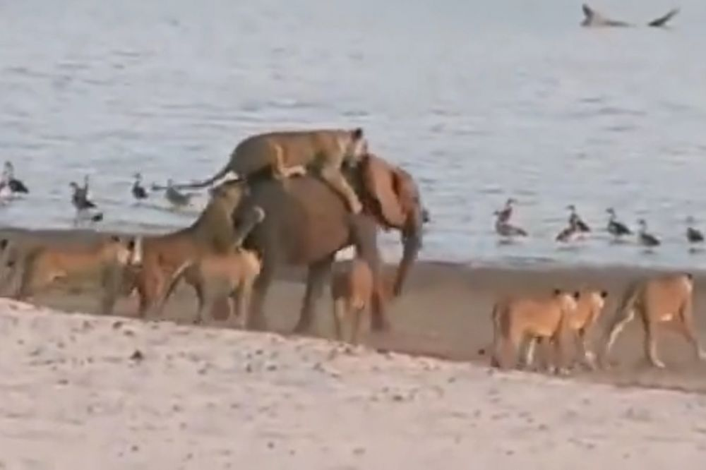 (VIDEO) HERKULES, SAM PROTIV SVIH: Ovaj usamljeni slon uspeo je da savlada 14 gladnih lavica