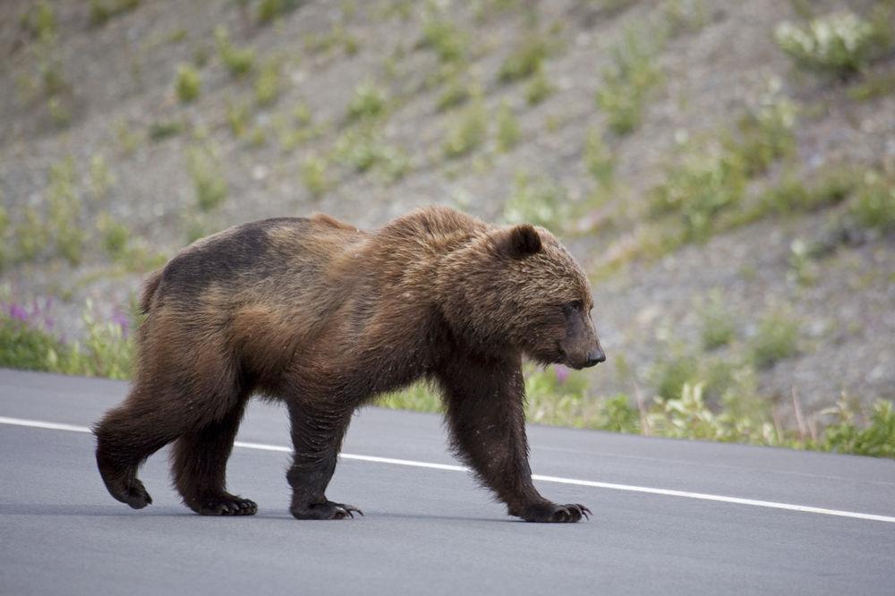 NESREĆA NA AUTO-PUTU U MAKEDONIJI: Pregažen medved, dvoje povređeno
