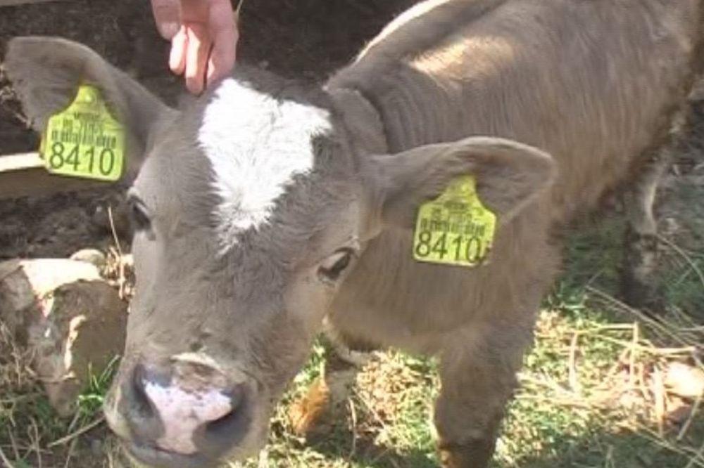 (FOTO) FENOMEN: Krava Jovana na svet donela ljubičasto tele!