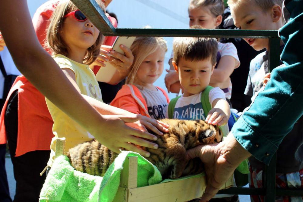POSLASTICA U JAGODINSKOM ZOO-VRTU: Posetioci dvaput dnevno smeju da maze bebe tigriće!