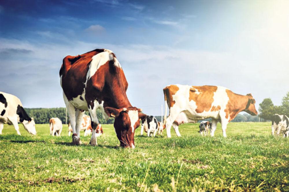 Mlekarstvo - industrija koja posrće