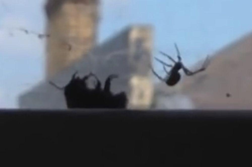 (VIDEO) SMRTONOSNI OBRAČUN: Pauk uhvatio bumbara u mrežu, ali onda je stigla pomoć