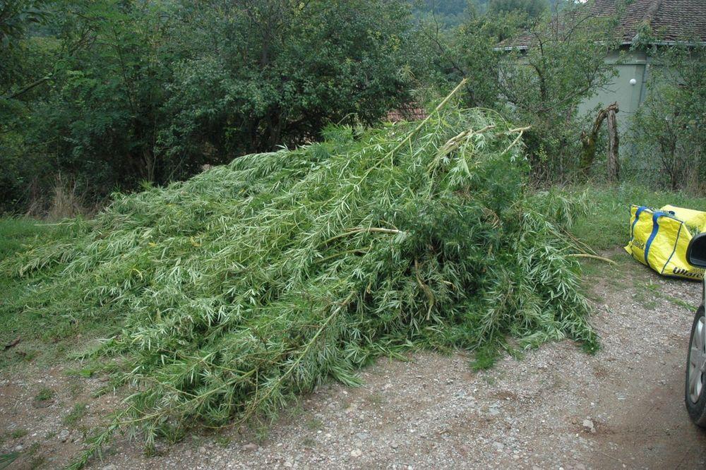 UHVATILI GA KAKO SEČE I PAKUJE BILJKE: Hapšenje u Paraćinu zbog uzgoja marihuane