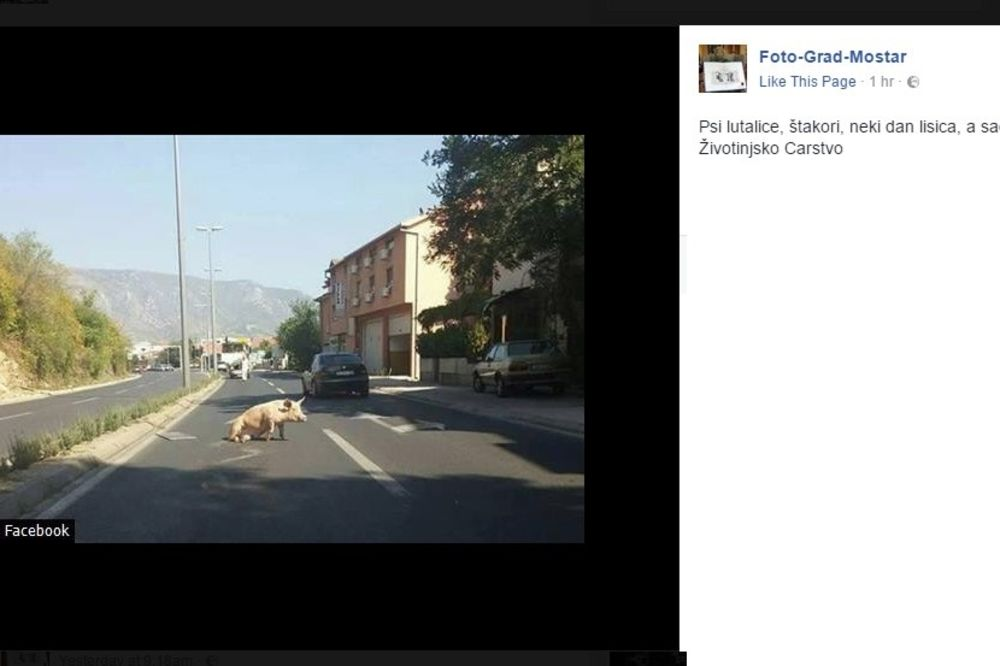 NESVAKIDAŠNJI PRIZOR U MOSTARU: Svinja legla nasred puta, vozači je jedva obilaze