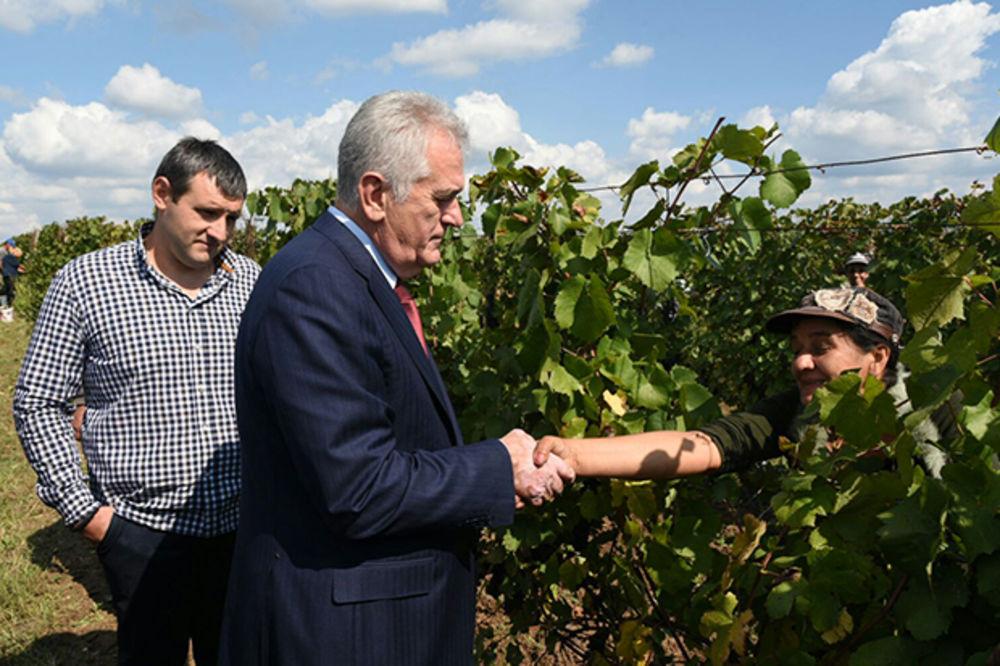(FOTO) OBRAŠE SE VINOGRADI... Nikolić svečano otvorio berbu grožđa kod Ćuprije