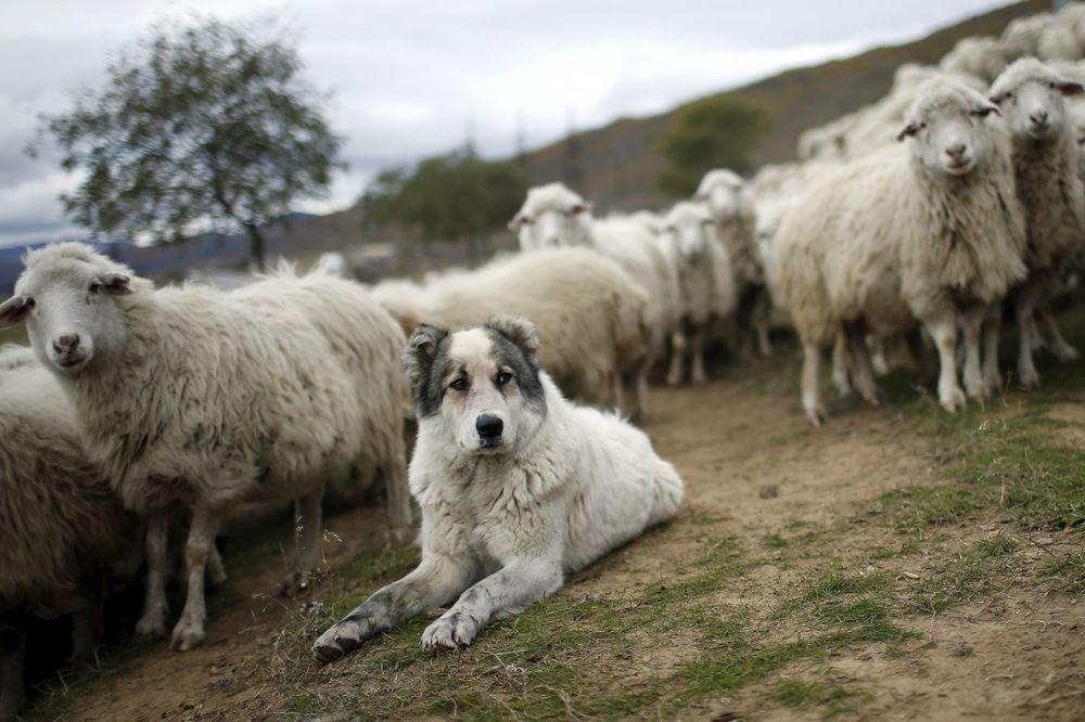 KURŠUMLIJA: Čopor vukova zaklao stado ovaca na imanju Stevanovića