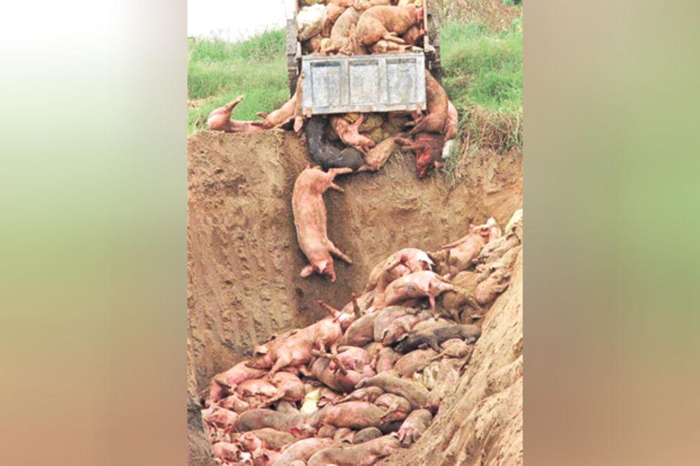 PANIKA U RAŠKOJ ZBOG OBOLELIH ŽIVOTINJA: Zbog bruceloze pobijene svinje