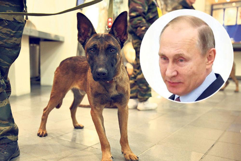 KLONIRANI PSI: Belgijski ovčari Putinovo tajno oružje