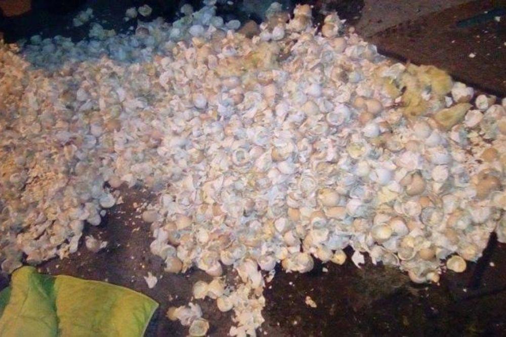 (FOTO) UŽAS U NIŠU: Oko 2.000 neizleglih jaja i pilića bacili u kontejner - K...