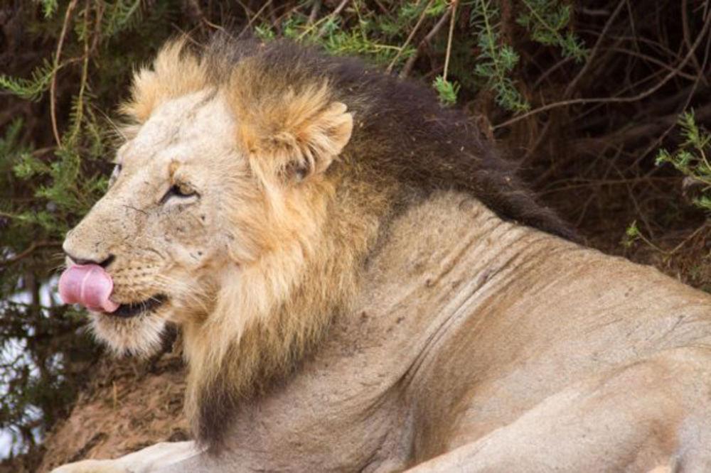 NAKON 119 GODINA OTKRIVENA TAJNA LJUDOŽDERA: Morbidna oralna higijena lavova iz nacionalnog parka