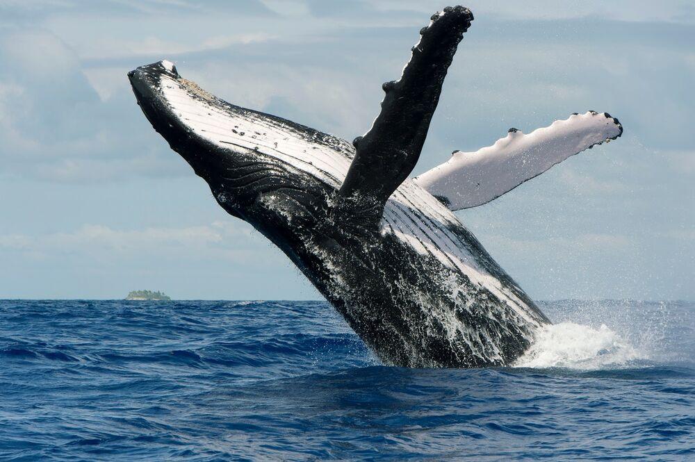kit, grbavi kit, kitolovac